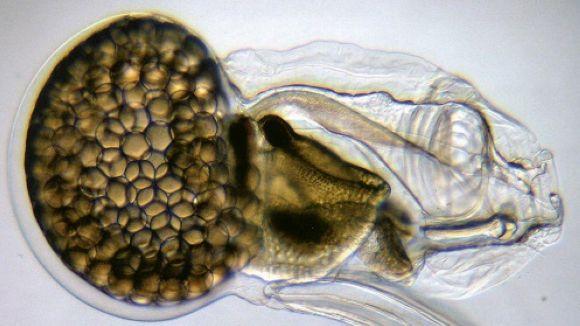Una imatge de l'oikopleura dioica / Foto: UB