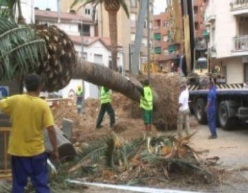 Les palmeres de Can Mora es traslladen a Marià Vayreda per evitar danys a la riera