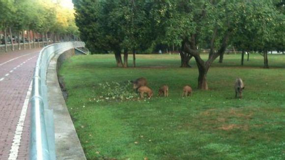 Els porcs senglars visiten el Parc Central