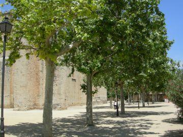 L'Ajuntament substituirà els plàtans del Monestir per lledoners