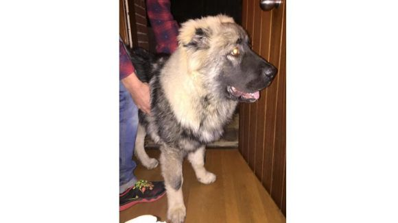 Troben un cadell de pastor caucàsic a l'AP7