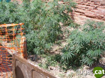 Incautats 70 quilos de marihuana d'una plantació a les Planes