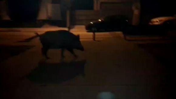Un porc senglar passeja per l'entorn de l'estació de Mira-sol