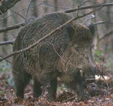 El Consorci del Parc de Collserola, partidari d'estrendre la caça del senglar amb arc i fletxes