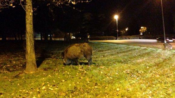 Un grup de porcs senglars torna a aproximar-se a la zona urbana de Sant Cugat