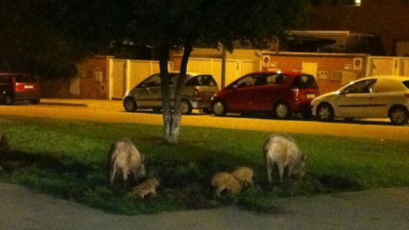 Crida a la col·laboració ciutadana per aturar la presència de senglars
