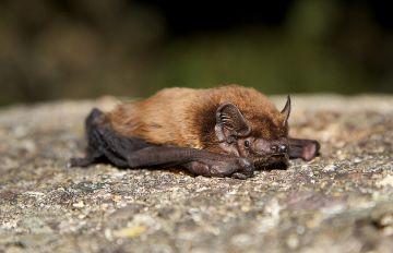 Troben dues noves espècies de ratpenats al Parc Natural de Collserola