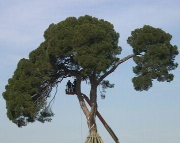 Comencen els treballs de restauració del Pi d'en Xandri després de la nevada