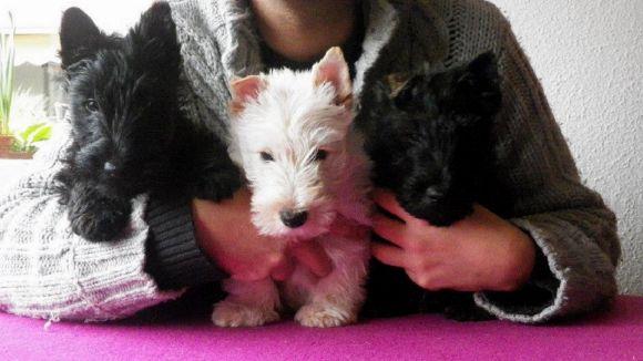 Sant Cugat acollirà la primera trobada a l'Estat espanyol de Scottish Terrier