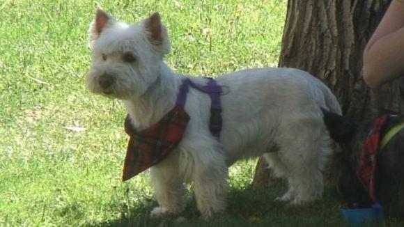 La primera trobada estatal de Scottish Terrier supera les expectatives