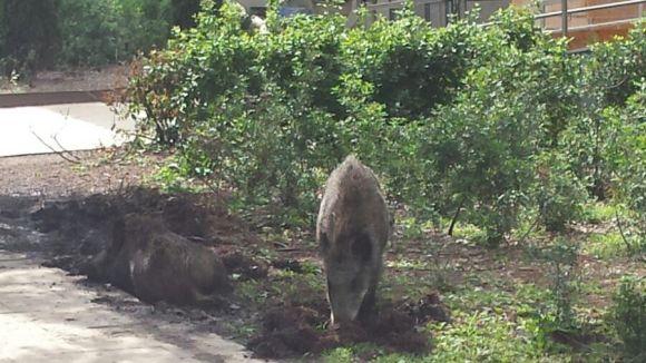 Alguns dels porcs senglars que han arribat fins al centre de la ciutat en l'últim any / Foto: Cedida