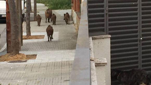 Un grup de senglars torna a ser vist a Mira-sol