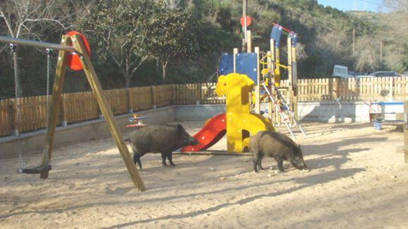 Dos senglars en un parc de Sant Cugat.