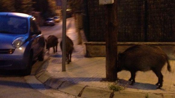 Els caçadors, partidaris de batre amb armes els senglars dins les zones urbanes