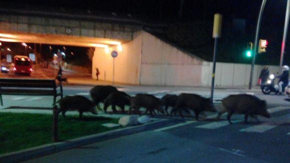 Set porcs senglars es passegen pel centre de Sant Cugat