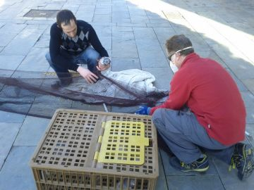 Nova campanya per reduir la població de coloms a la ciutat