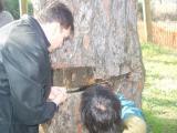 L'arbre es recupera favorablement tot i que són necessàries actuacions per sanejar la ferida i combatre algunes plagues