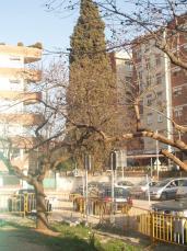 Es pregunten per què prevalen els interessos de l'aparcament per sobre de la vida de l'arbre.