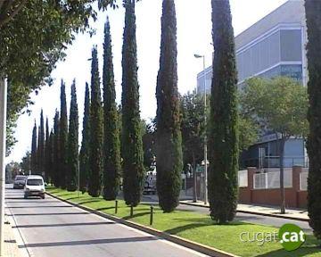 L'Ajuntament treballa per evitar que una plaga de fongs malmeti els xiprers de la ciutat